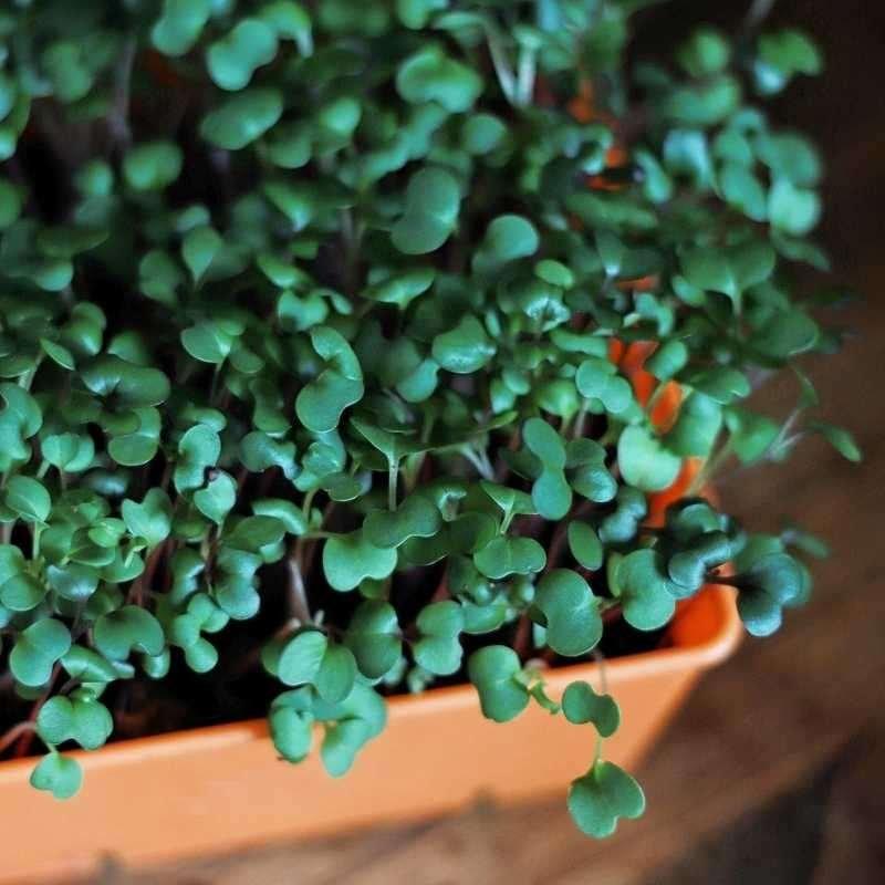 Microgreens growing in an orange tray