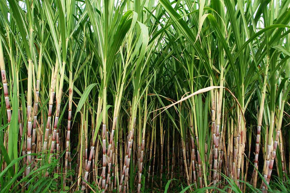 Sugarcane used in bio-based Stand up Pouches