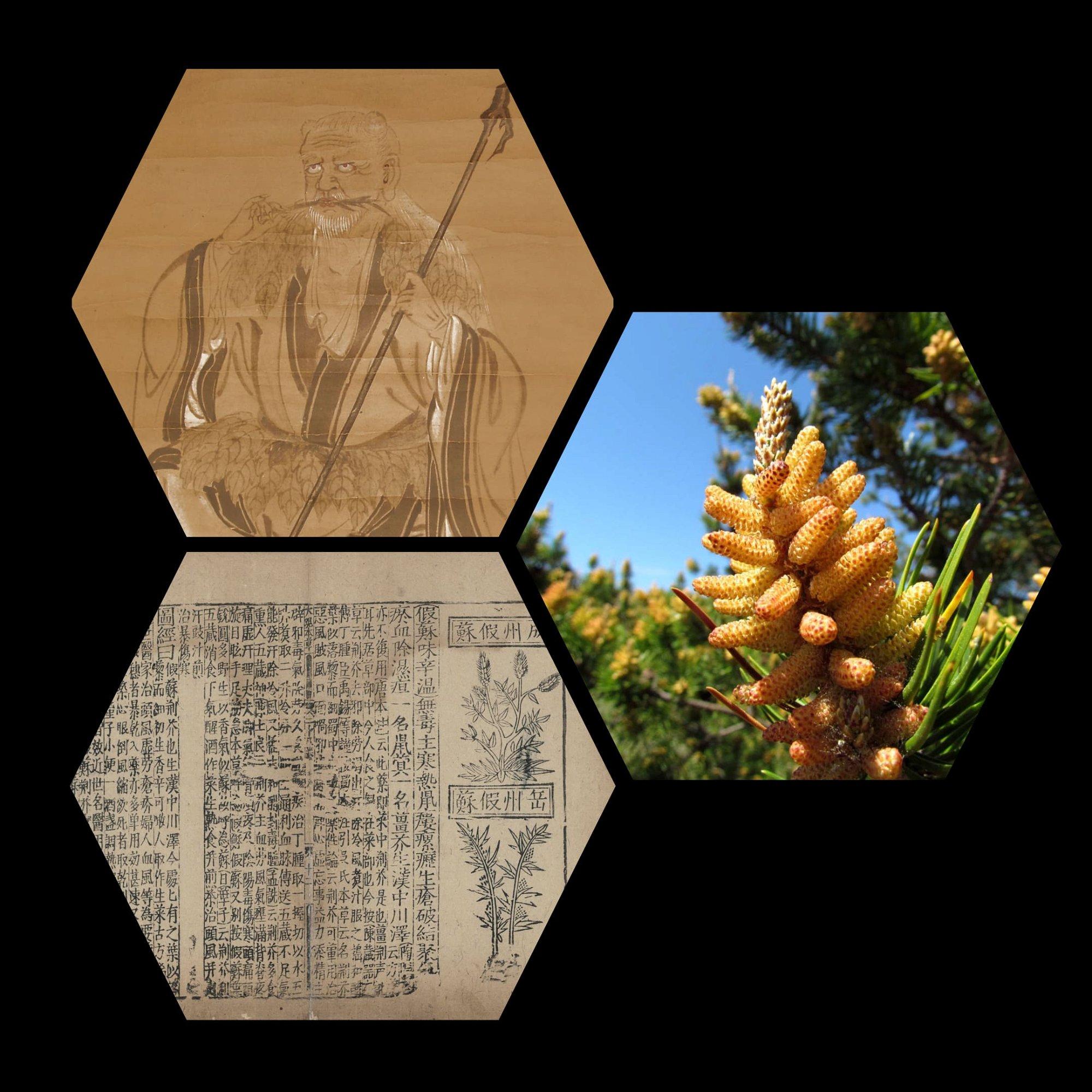 pine pollen shennong Bencao