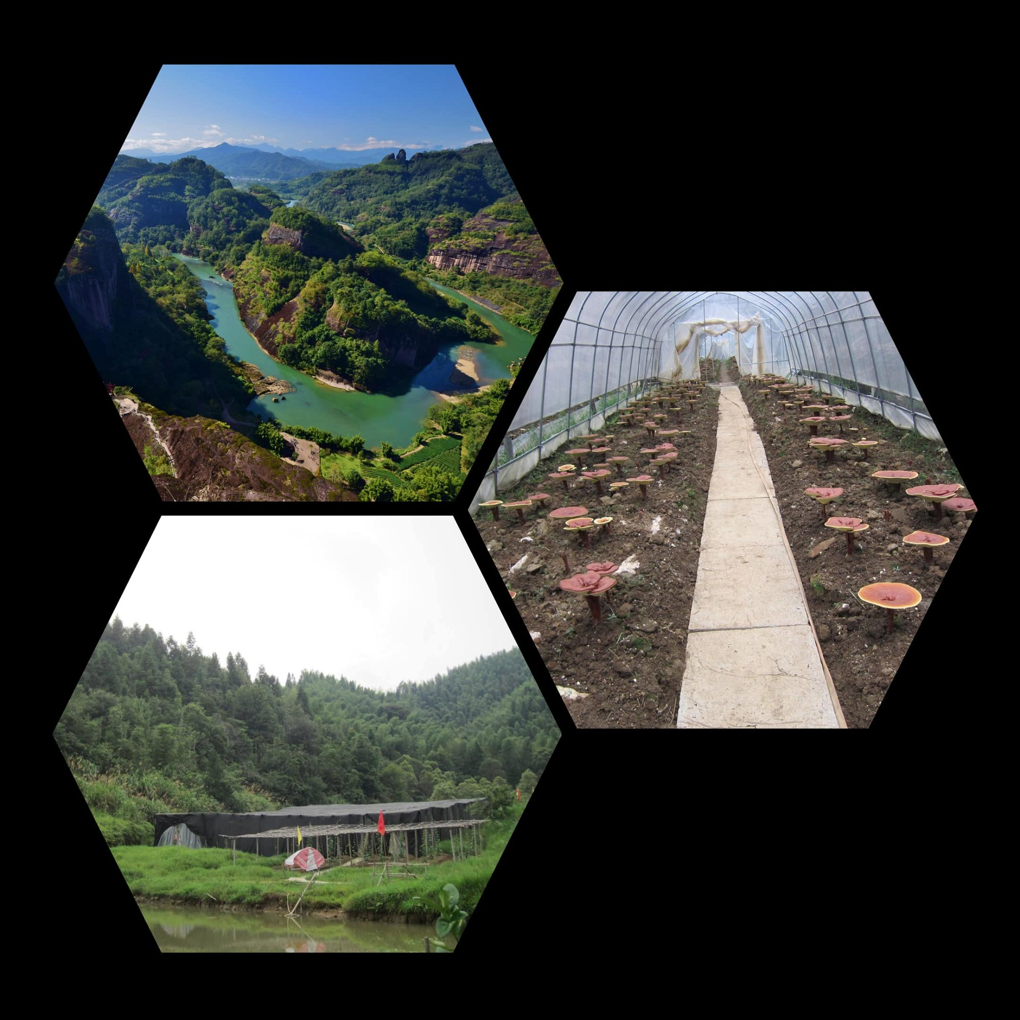 Wuyi Mountain reishi sourcing