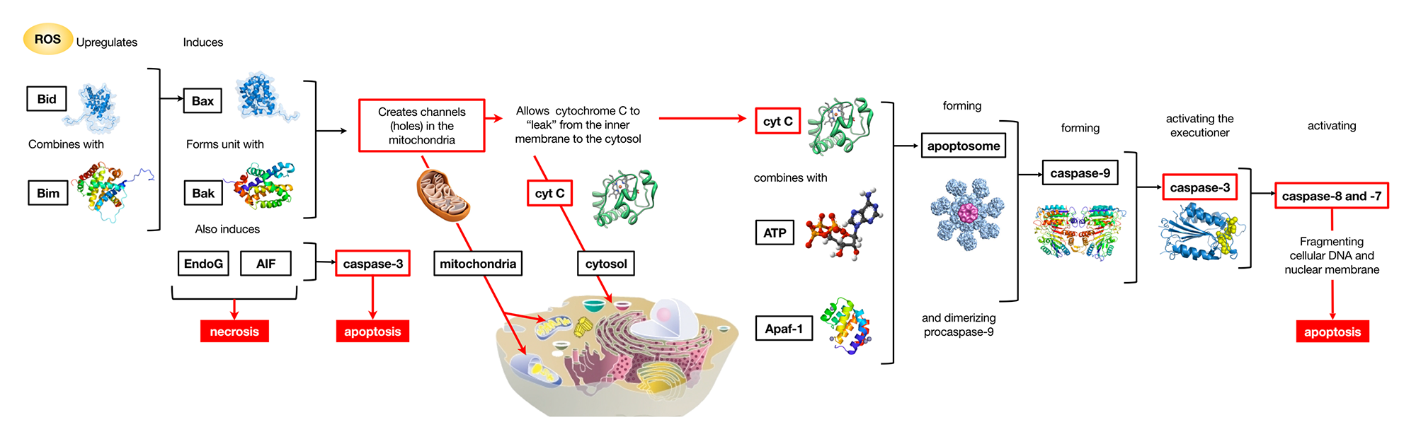 Mechanism of action for ROS-induced cell death cascade
