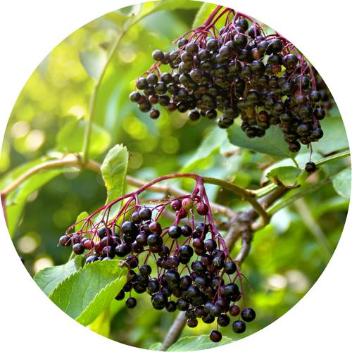 Organic Elderberries
