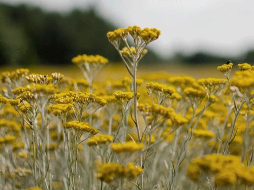 Smilje u prirodu glavni sastojaka Aromatherapist seruma za lice Intenz