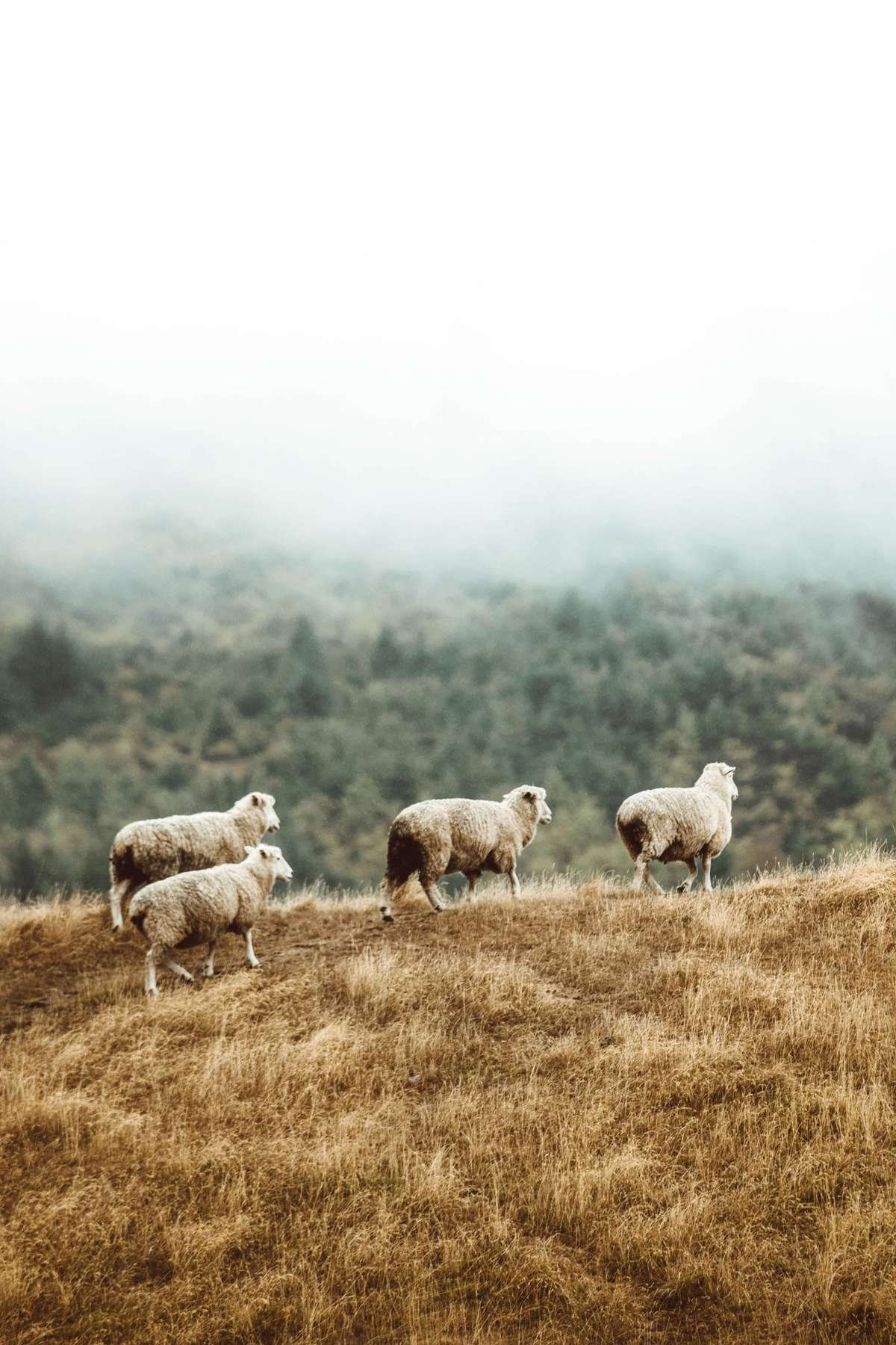 herd of merino sheep, photo by Taylor Brandon.