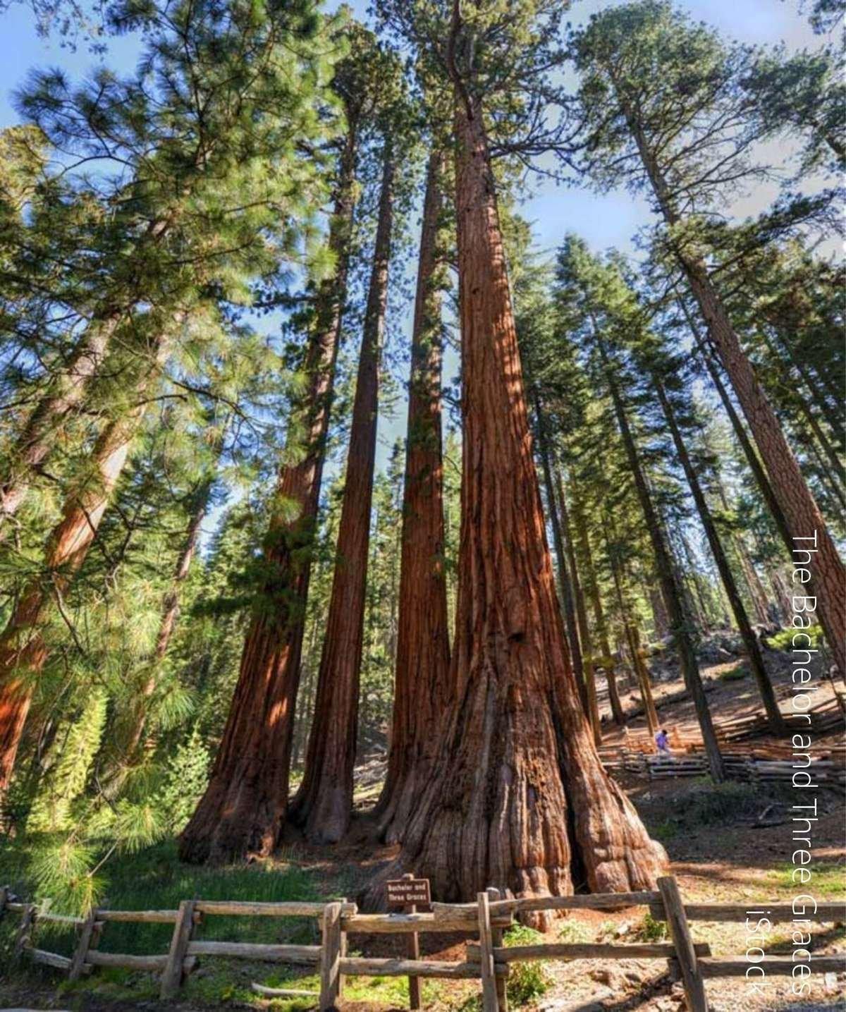 Redwood. Forest
