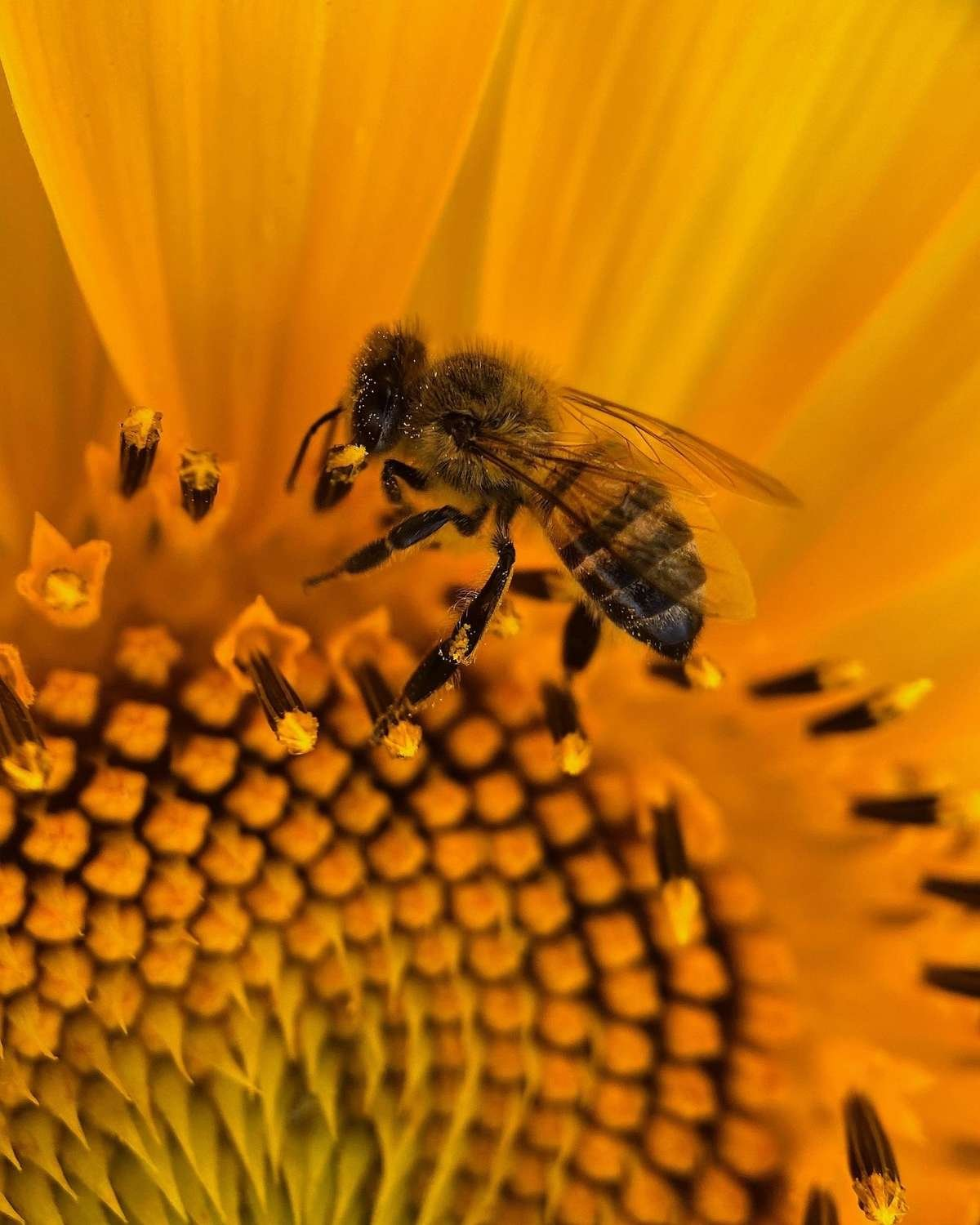 bumble bee pollinating a sunflower
