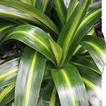 Dracaena Foliage