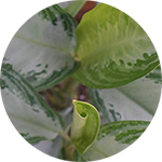 Chinese Evergreen Foliage