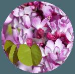 WESTERN REDBUD flower
