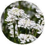SWEET ALYSSUM flower