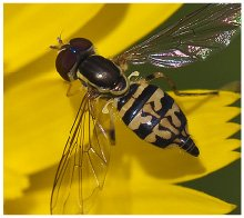 SYRPHID FLYD on flower