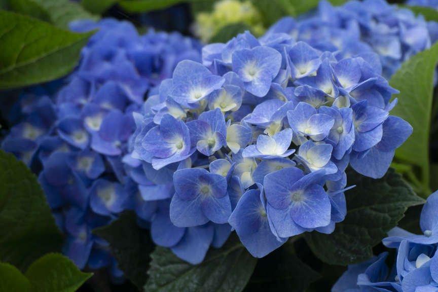 Hydrangea 'Let's Dance Blue Jangles'