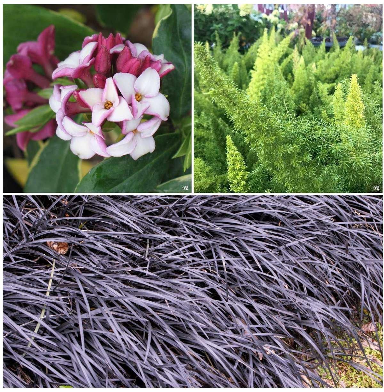 Plant Combination: Daphne, Foxtail Fern, Black Mondo Grass
