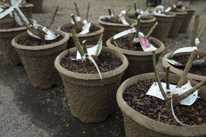 Bareroot roses planted in fiber pots