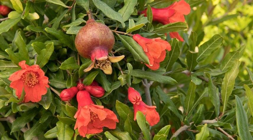 Pomegranate 'Red Angel'