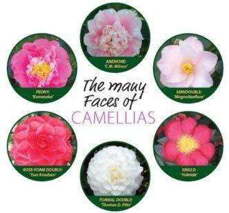 Six Different Camellia Flowers