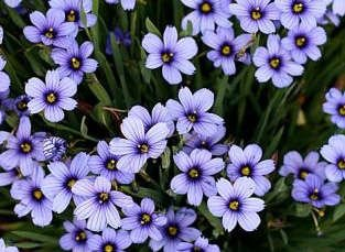 California Blue-Eyed Grass