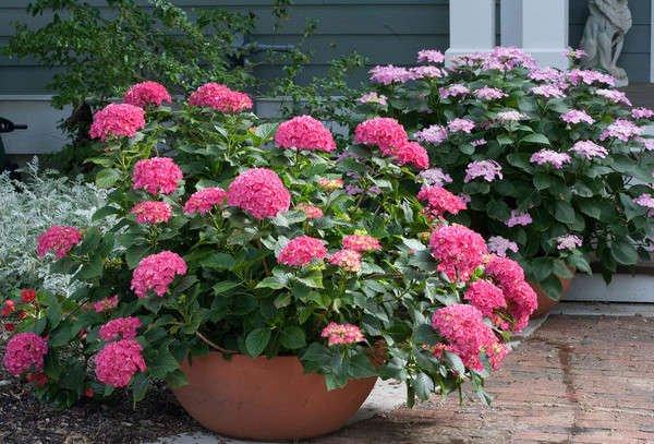 Pink hydrangeas in large terra cotta pot
