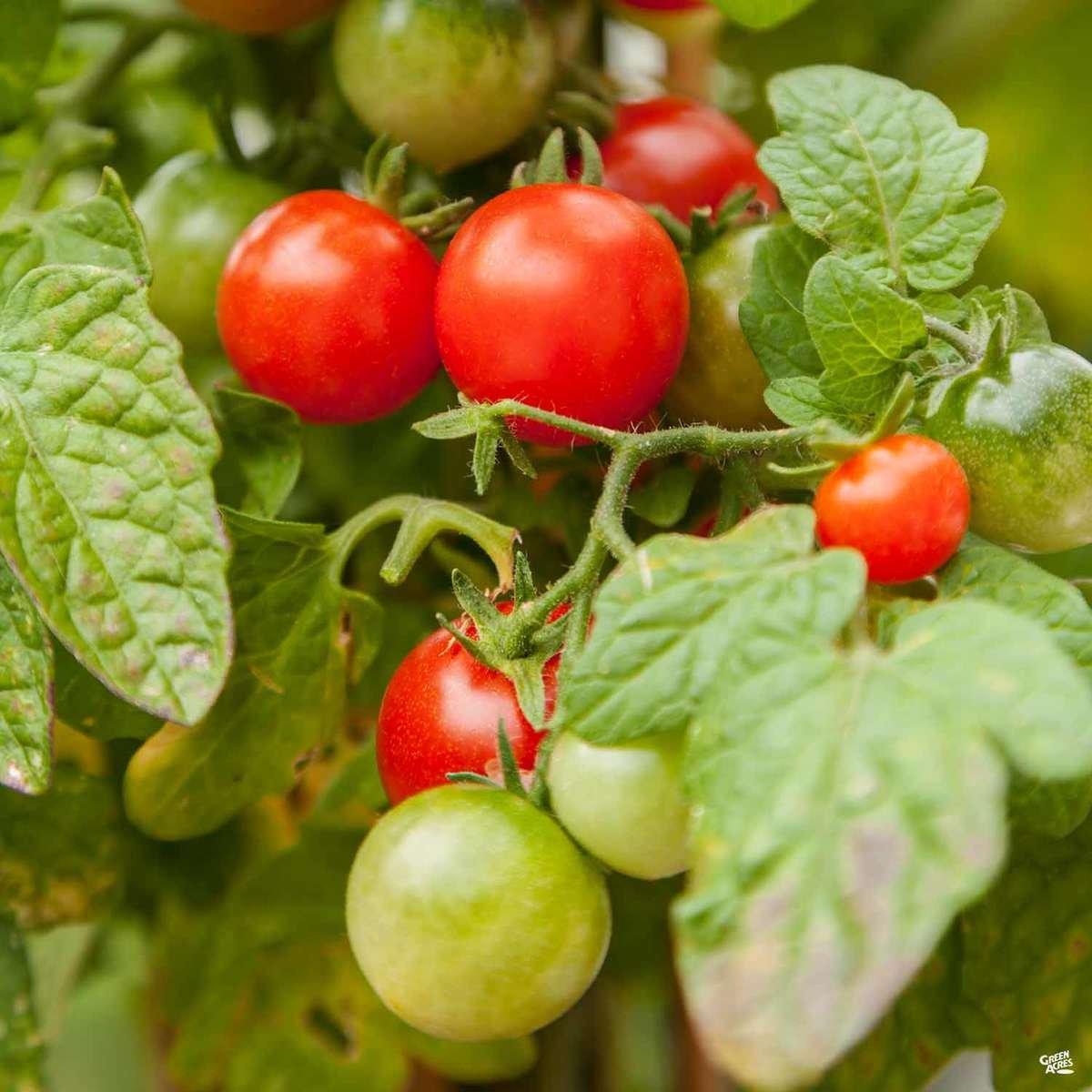 Tomato 'Patio'