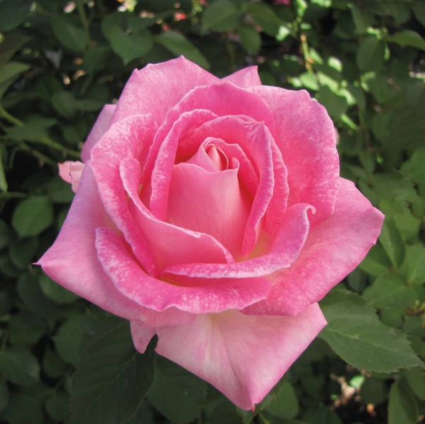 Painted Porcelain Hybrid Tea Rose