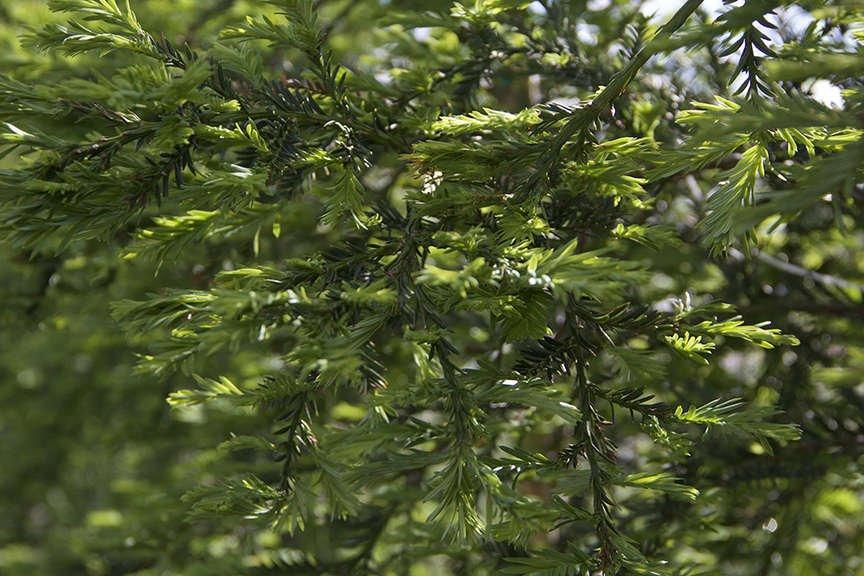 Coastal Redwood 'Aptos Blue'