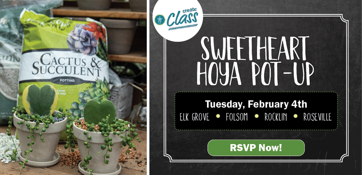 Create Class: Sweetheart Hoya Pot-Up