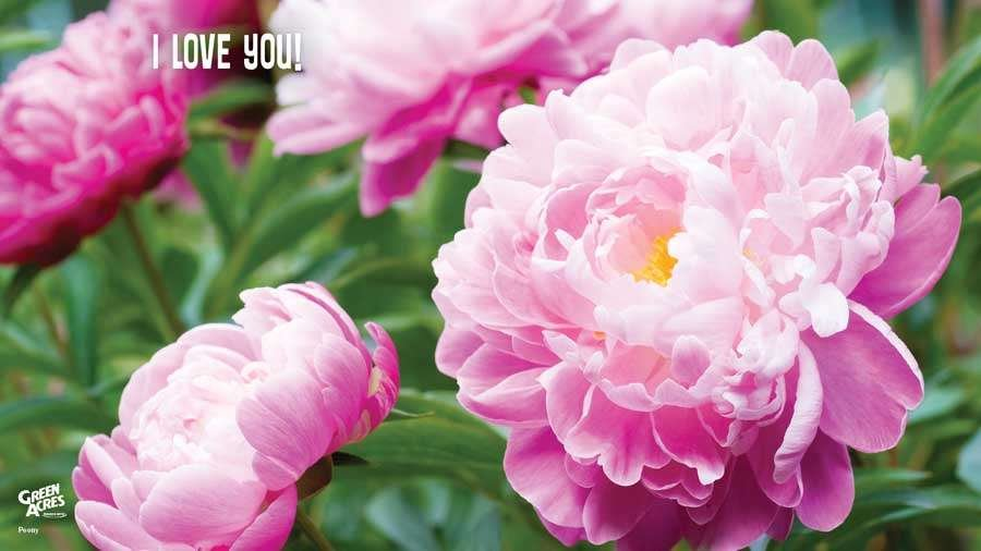 I Love YOu Pink Peonies