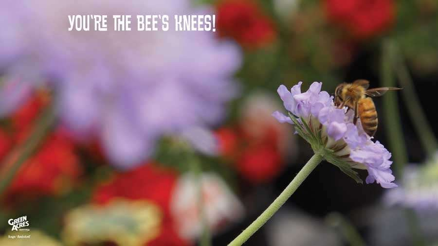 You're The Bee's Knees - Bee on Pincuchion Flower