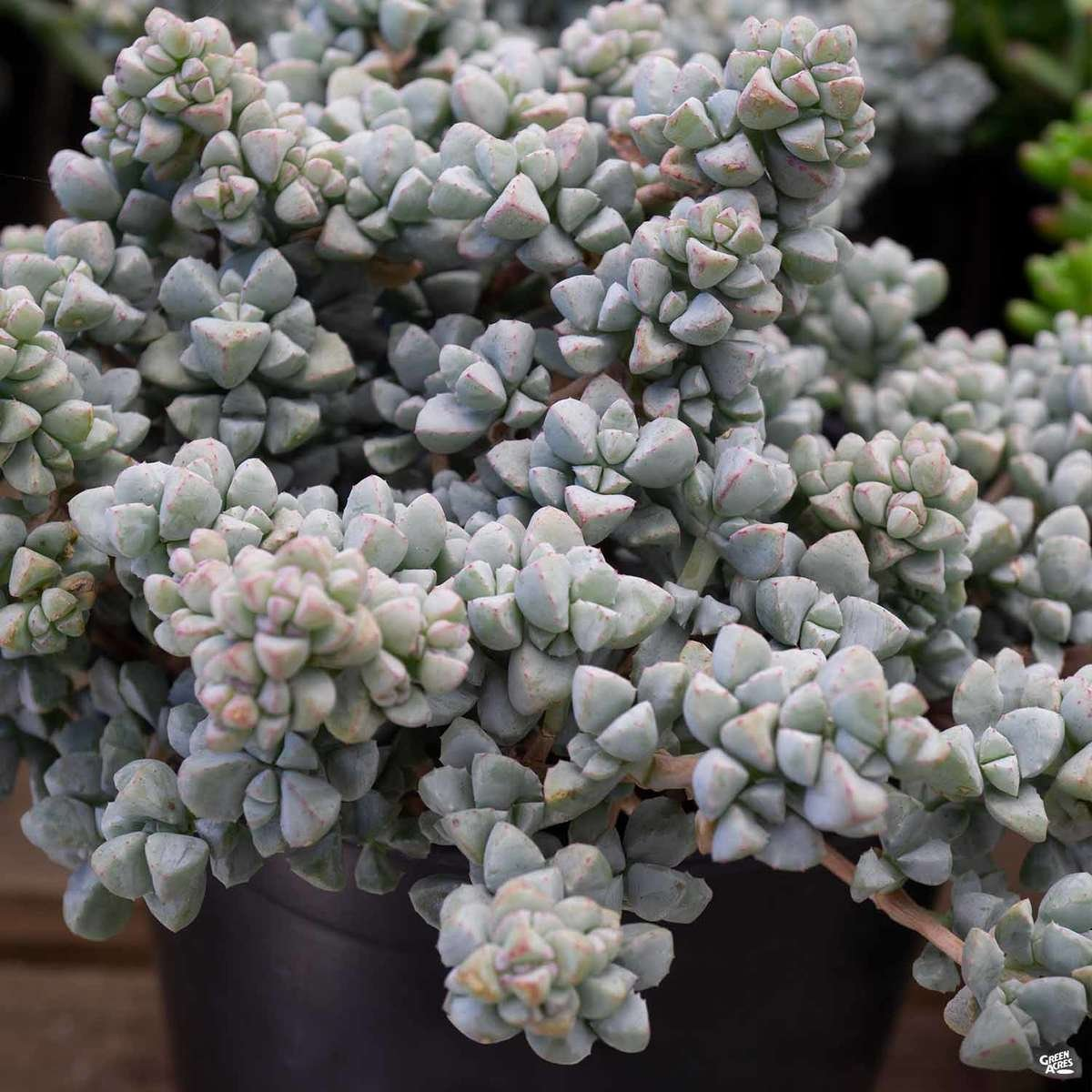 Lampranthus 'Deltoides'