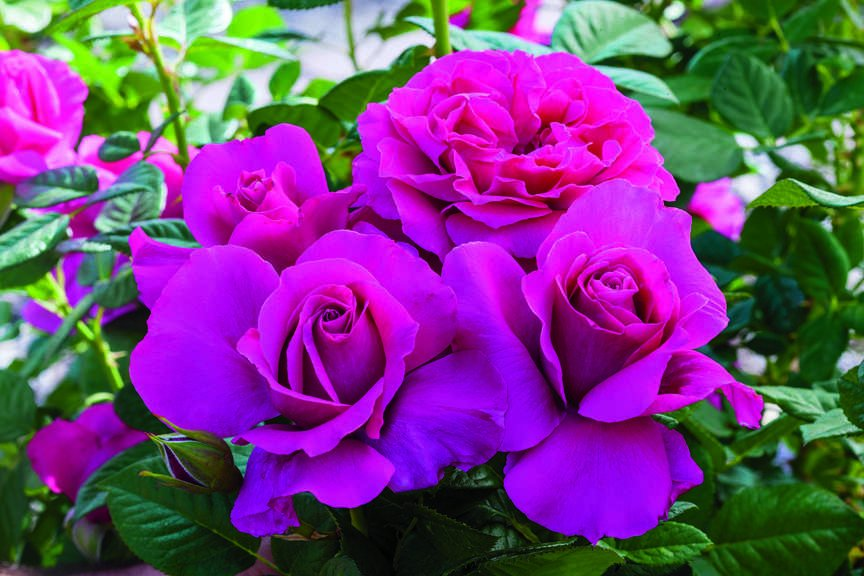 Hybrid Tea 'Pretty Lady Rose'