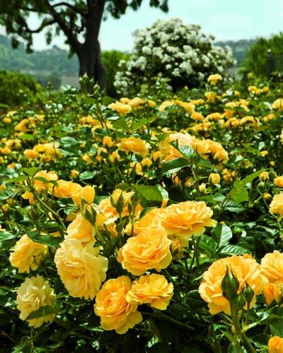 Rose Floribunda 'Julia Child'