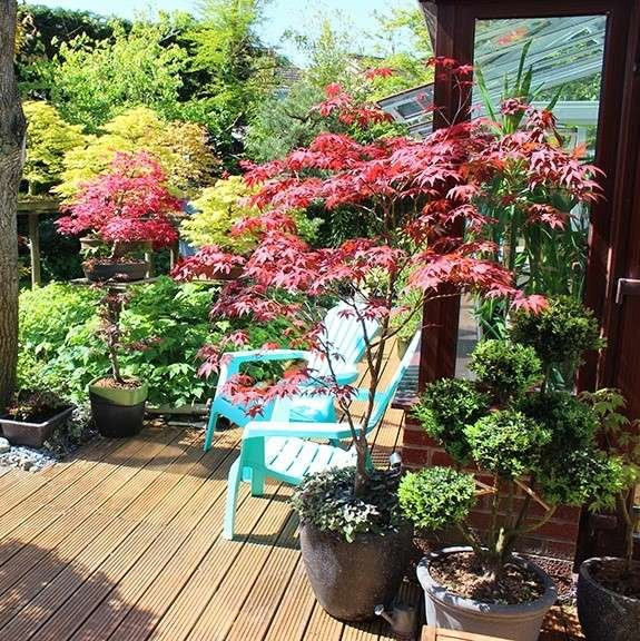 Japanese Maple with red foliage on patio