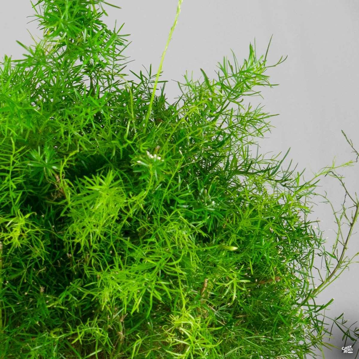 Asparagus Sprenger Fern
