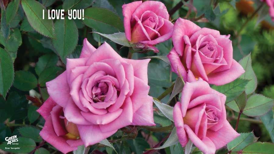 I Love You - Pink Incognito Rose