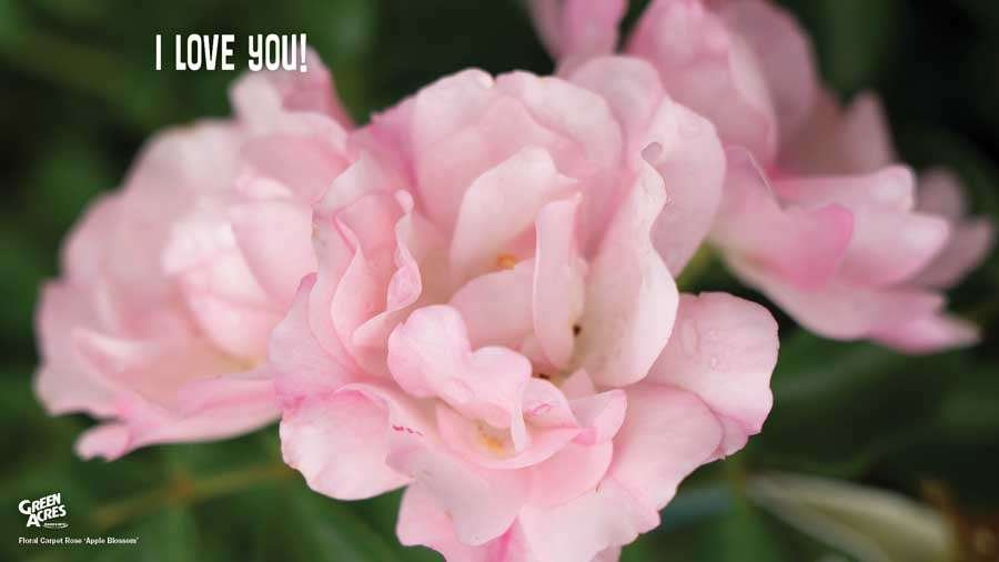 I Love You! Appleblossom Rose