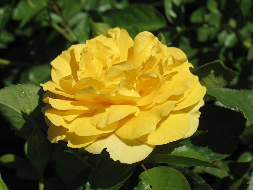 Floribunda 'Julia Child'