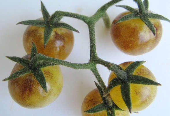 Wild Boar Tomato: Amethyst Cream Cherry