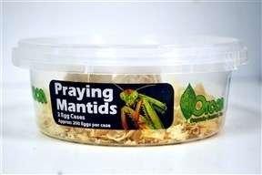 Praying Mantid egg case