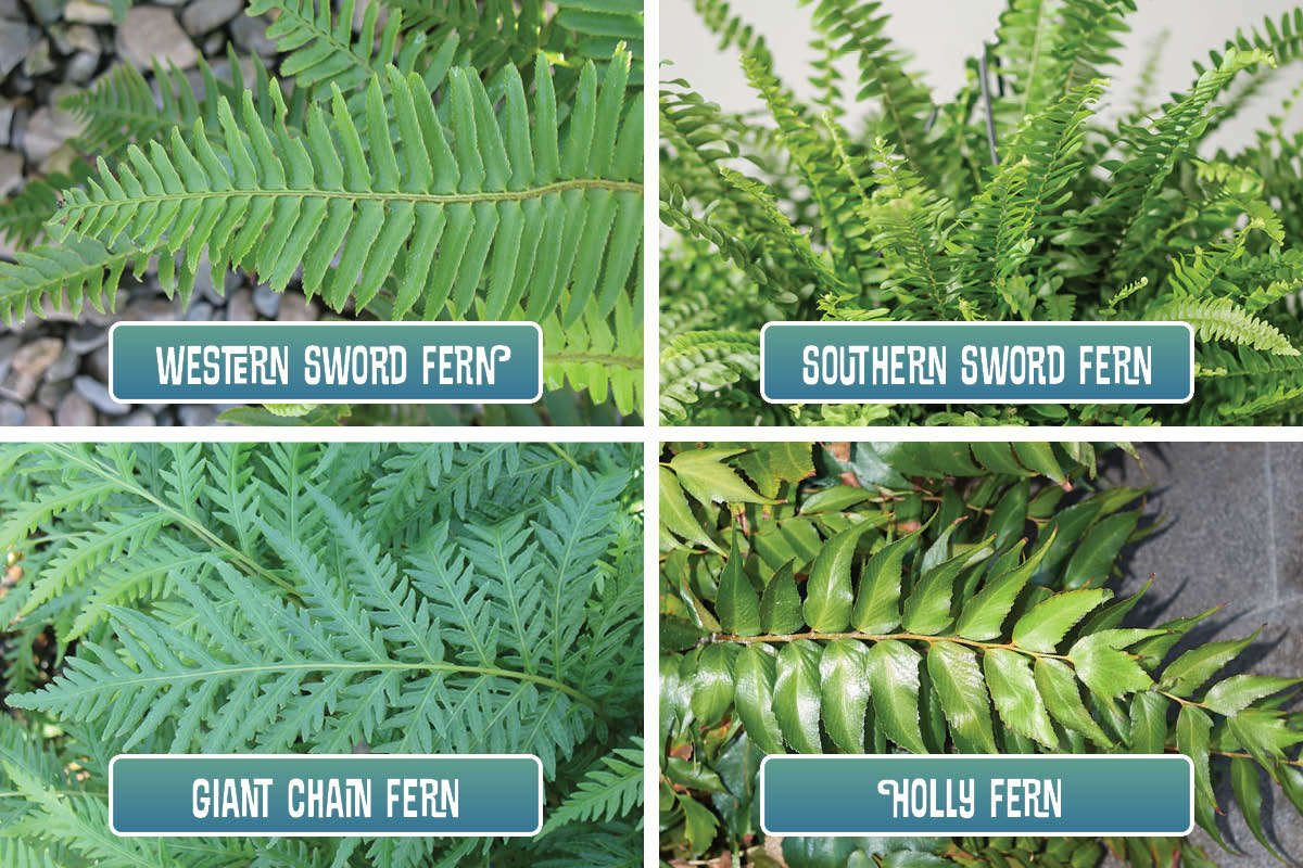 Four ferns for oaks and woodland areas