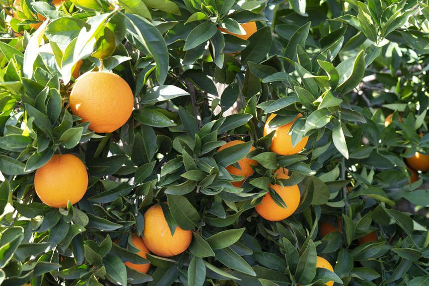 'Cara Cara' orange tree