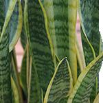 Snake Plant Foliage