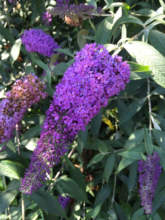 Butterfly Bush Purple