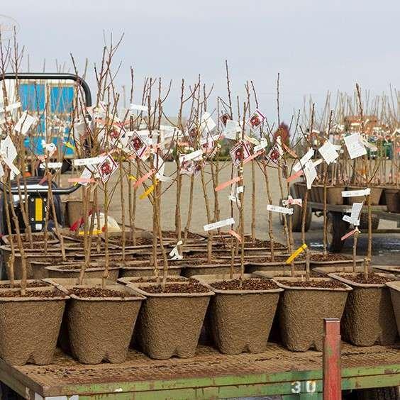 Bareroot nectarines in pulp pots