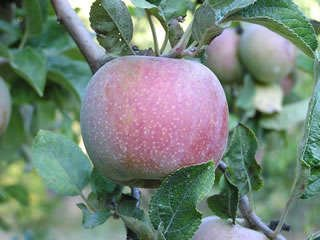Hauer Pippin antique apple