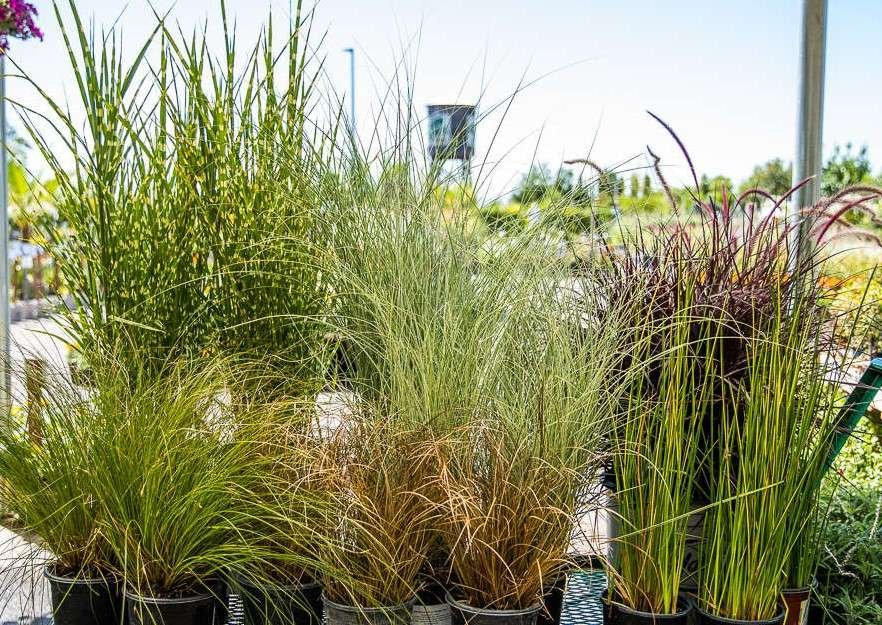 Group of Grasses at Green Acres Nursery & Supply