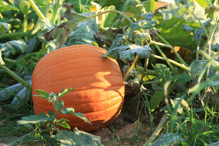 pumpkin in patch