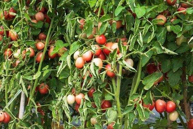Tomatoes showing sunburn
