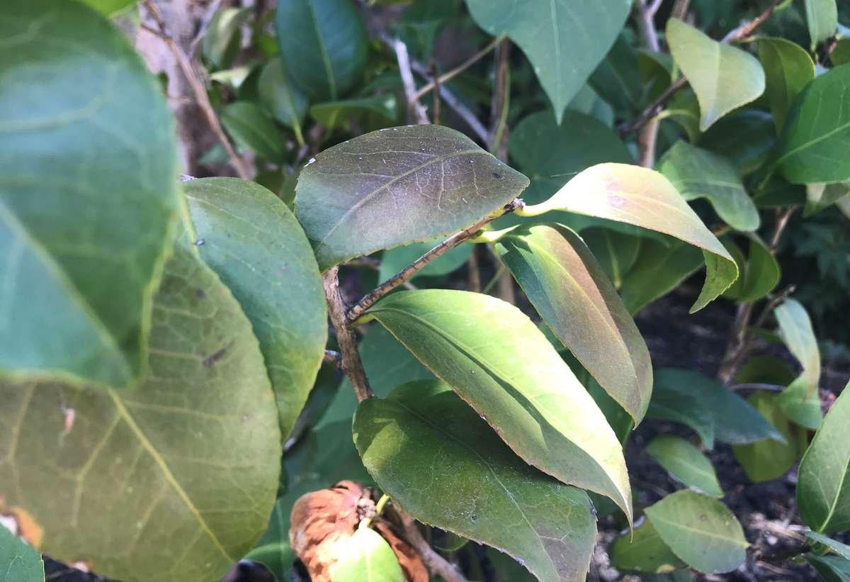 Sunburned leaves on a Camellia