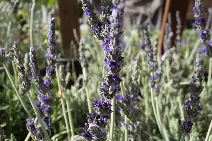 Lavender 'Goodwin Creek'