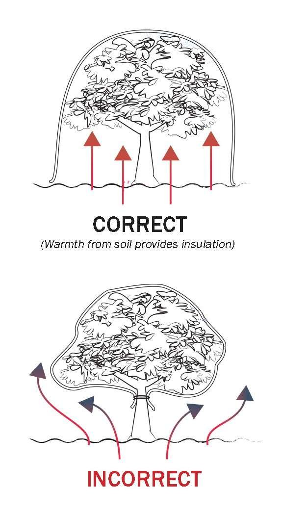 Diagram  of Correct Way to Apply Frost Cloth to a Tree